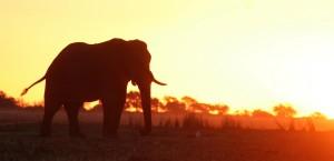 Elefant am Fluss Chobe in Botswana in Botsuana