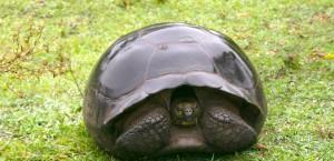 Eine Galápagos-Riesenschildkröte auf der Insel in Ecuador