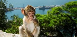 Einer der freilebenden Gibraltar-Affen in Gibraltar