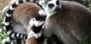 Kattas, die bekannteste einheimische Tierart von Madagaskar in Madagaskar