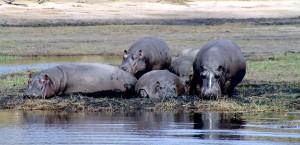 Nilpferde am Fluss Chobe in Botswana in Botsuana
