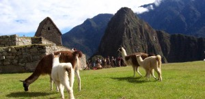Alltäglicher Anblick in den Anden: Lamas beim grasen in Peru