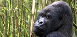 Einer der für Ruanda typischen Berggorillas in Ruanda