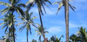 Ein junger Mann klettert auf eine Kokos-Palme auf Samoa in Samoa