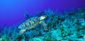 Unterwasseraufnahme einer Hawksbill Schildkröte auf den Kaimaninseln in Kaimaninseln